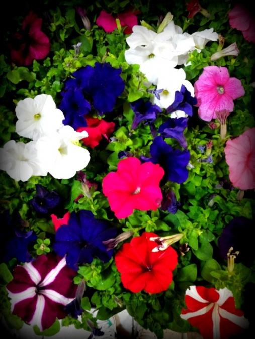 Piante Surfinie : Primavera in fiore